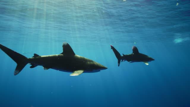 oceanic whitetip sharks - oceanic white tip shark stock videos & royalty-free footage