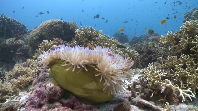 Ocellaris Clownfish (Amphiprion ocellaris) and anemone (Heteractis magnifica) swaying in current, Southern Visayas, Philippines