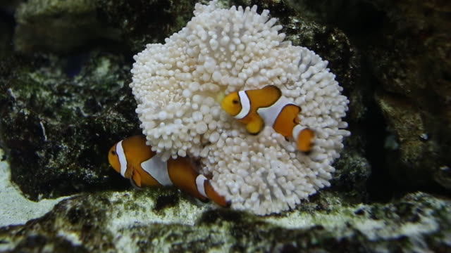 ocellaris clownfish and sea anemone - two animals stock videos and b-roll footage