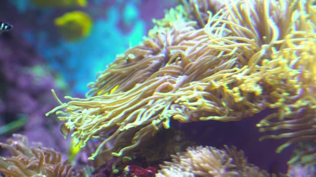 ocellaris clownfish in anemone - nascondere video stock e b–roll