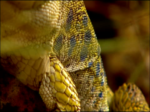 ocellated lizard (lacerta lepida) skin, andalusia, southern spain - tierhaut stock-videos und b-roll-filmmaterial