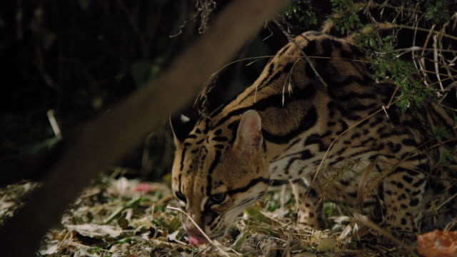 ocelot foraging - foraging stock videos & royalty-free footage