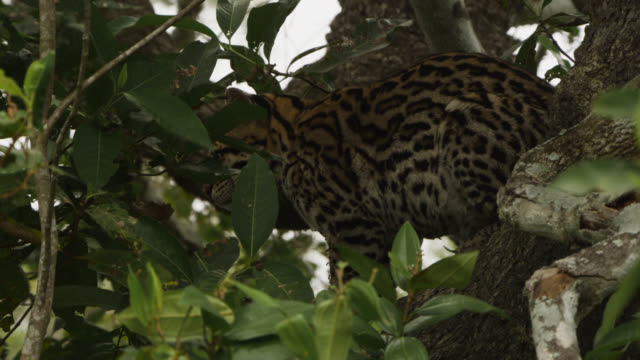 ocelot (leopardus pardalis) sits camouflaged in tree. - south america stock videos & royalty-free footage