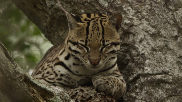 Ocelot's (Leopardus pardalis) ears twitch alertly as it rests in tree,