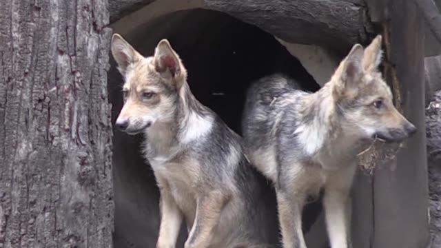 vídeos y material grabado en eventos de stock de ocho crias de lobo mexicano nacieron en un zoologico de la ciudad de mexico los seis machos y dos hembras ayudaran a combatir el peligro de extincion... - lobo mexicano