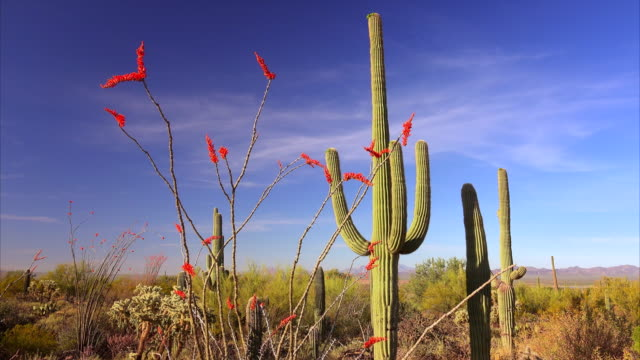 Ocotillo and Cactus in Saguaro National Park Landscape