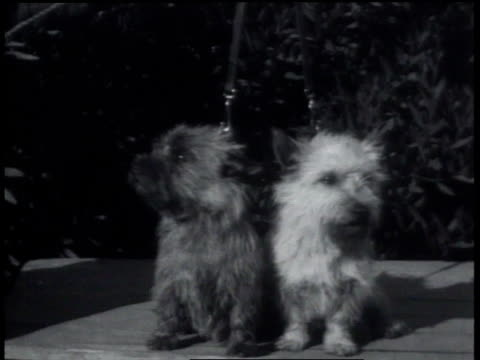 october 1, 1931 montage different breeds competing at a kennel club show / alameda, california, united states - 1931 stock videos & royalty-free footage