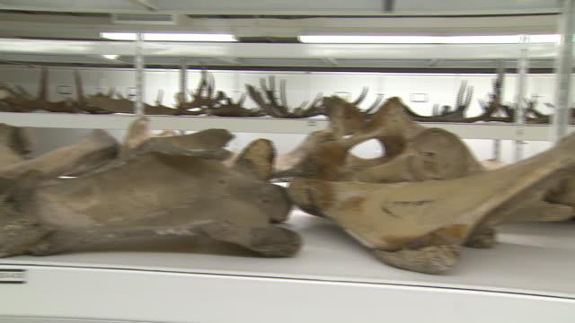 october 17, 2008 dinosaur bones on shelving platforms / washington, d.c., united states - 動物の骨点の映像素材/bロール