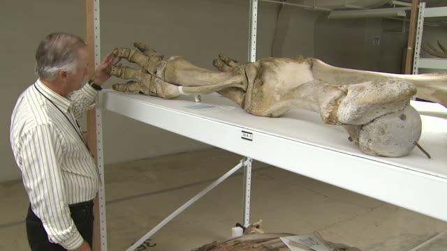 october 17, 2008 researcher inspecting articulated dinosaur bones / washington, d.c., united states - 動物の骨点の映像素材/bロール