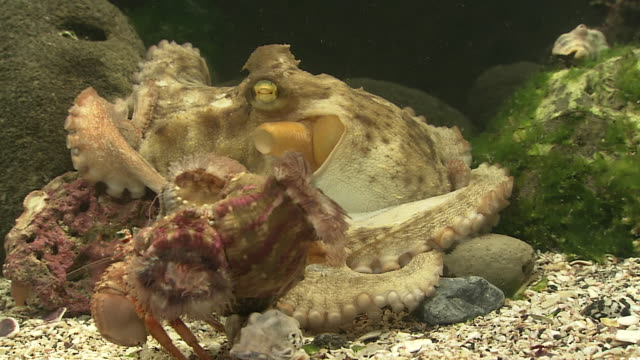 octopus and hermit crab with sea anemone - sea anemone stock videos & royalty-free footage