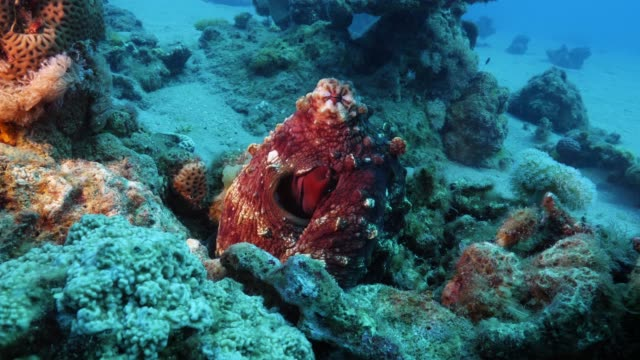 octopus camouflage - documentary footage stock videos & royalty-free footage