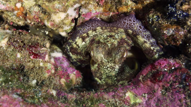 octopus camouflaged against rock - baja california peninsula stock videos & royalty-free footage
