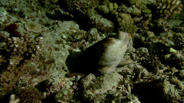 octopus (octopodidae) changes colour and texture on coral reef at night, new caledonia - disguise stock videos & royalty-free footage
