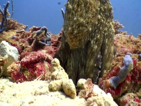 Octopus changes colour, Landaa Giraavaru, Maldives