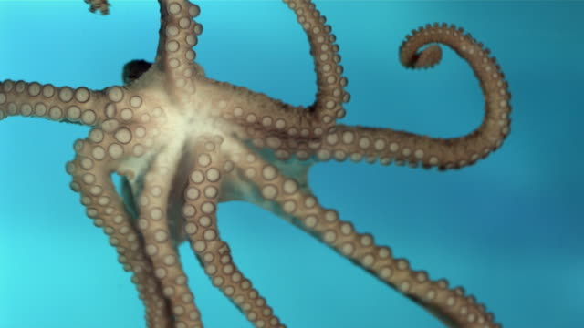 CU SLO MO Octopus crawling underwater / Los Angeles, California, USA