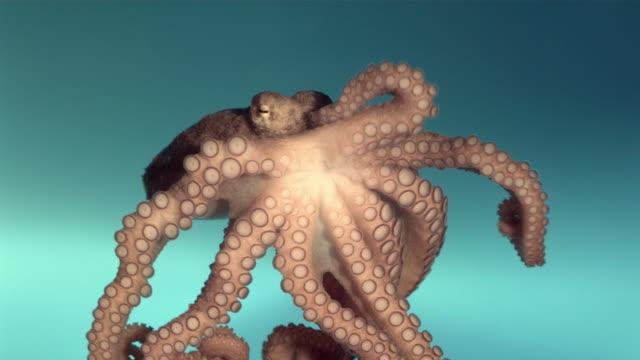 vídeos y material grabado en eventos de stock de cu ts slo mo octopus crawling underwater / los angeles, california, usa - pulpo