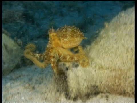 octopus entering bottle, hiding, mabul, borneo, malaysia - mabul island stock videos and b-roll footage