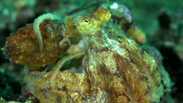 octopus, flores indonesia - フロレス点の映像素材/bロール