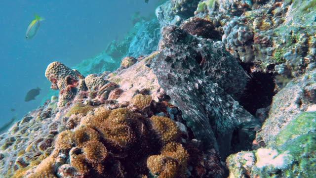 vidéos et rushes de octopus se cachant dans le maître sous-marin de récif de corail de camouflage - se cacher