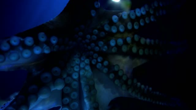 octopus in aquarium - tentacle stock videos & royalty-free footage