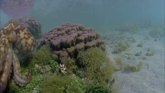 slo mo ms octopus on coral / moorea, tahiti, french polynesia - french overseas territory stock videos & royalty-free footage