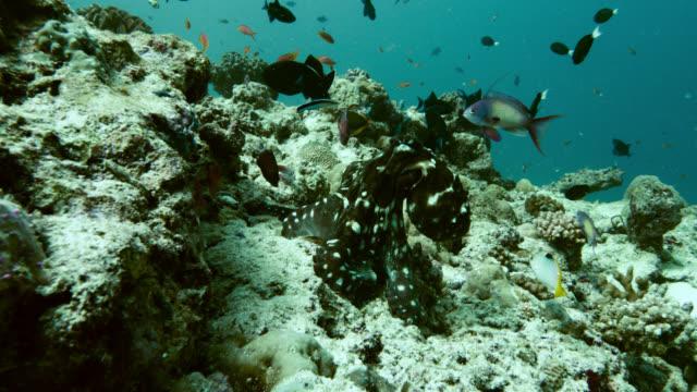 octopus on coral reef, indian ocean. - anthias fish stock videos & royalty-free footage