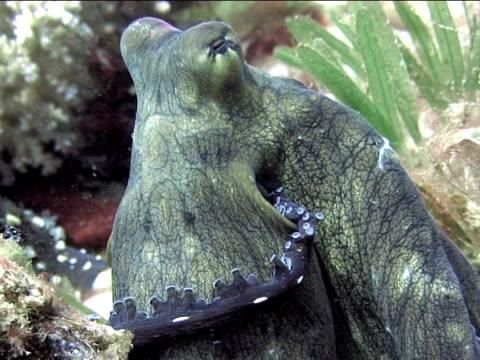 stockvideo's en b-roll-footage met octopus (currently unidentified). pair mating behaviour. dahab, red sea - vachtpatroon
