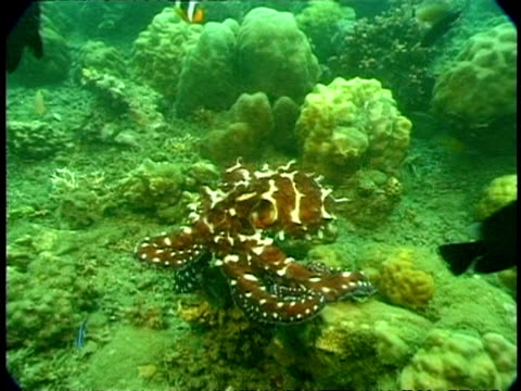 mcu octopus swimming across coral surface - animal markings stock videos & royalty-free footage