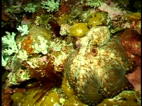 mcu octopus swimming through coral reef, changing colour to blend in with the coral - disguise stock videos & royalty-free footage