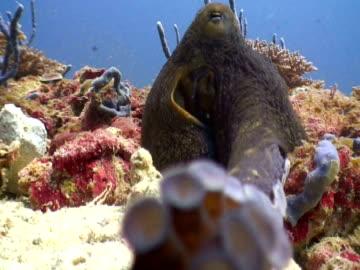 vídeos y material grabado en eventos de stock de octopus touching lens with tentacle, landaa giraavaru, maldives - esconder