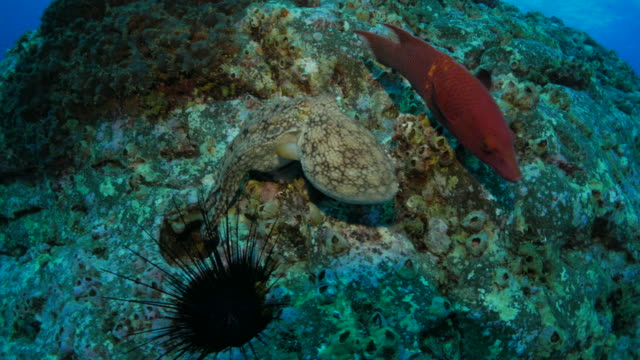 octopus, urchin, reef fish - ricci di mare video stock e b–roll