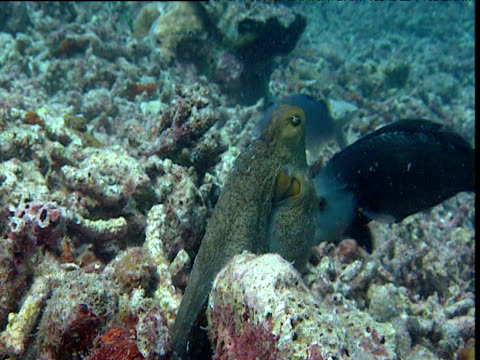 Octopus uses tentacle to punch fish away, Sipadan
