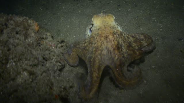 vidéos et rushes de octopus. - image en couleur