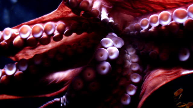 stockvideo's en b-roll-footage met octopus - onder