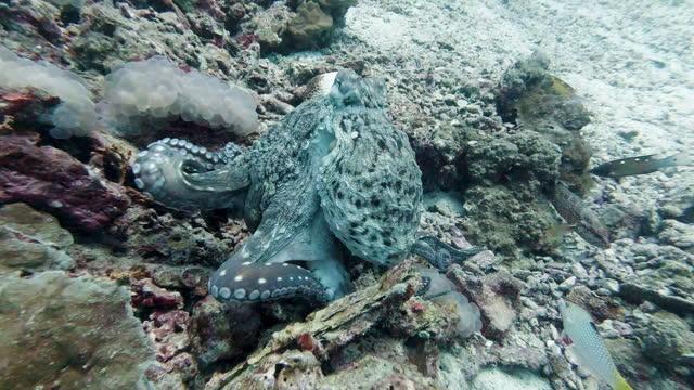 octopus walking on tenticles rare animal behavior - animal behavior stock videos & royalty-free footage