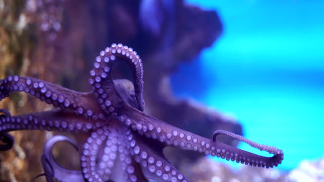 octopus-close up - purple stock videos & royalty-free footage