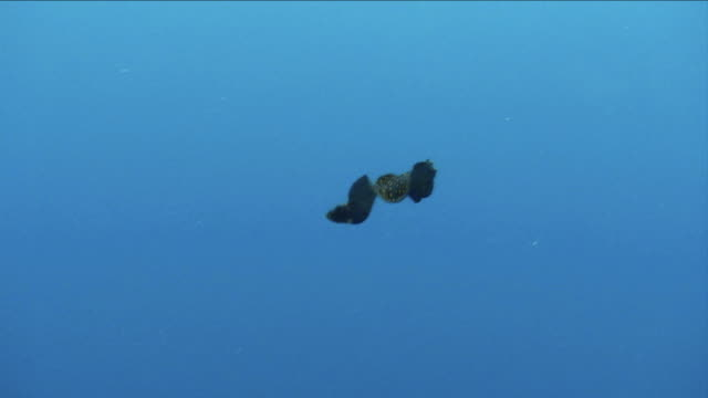 odd shaped swimming flat fish with neon spots - flat fish stock videos and b-roll footage