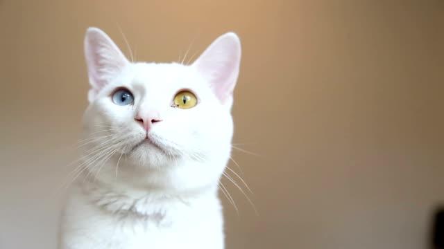 stockvideo's en b-roll-footage met odd-eyed kat - likken