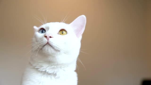 Odd-Eyed Cat