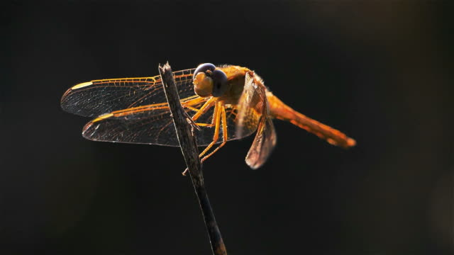 odonata, ruddy darter. (sympetrum sanguineum) - dragonfly stock videos & royalty-free footage