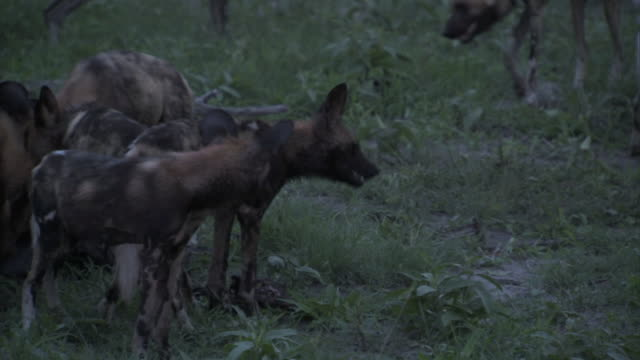 PACK of African Wild Dogs feeding on carcass on field of the Okavango Delta Wildlife animal behavior diet feeding cursorial hunter successful hunt...