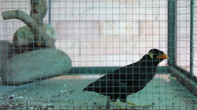 vídeos y material grabado en eventos de stock de hd de pájaro hill mainá. - cuello de animal