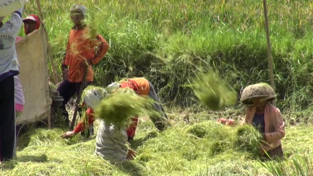 mcu of farmers working a threshing machine in paddy fields off the road from seririt to sanda in west bali - threshing stock videos & royalty-free footage