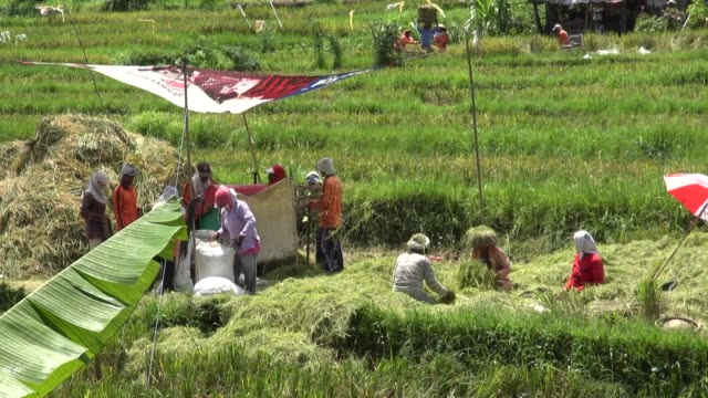 mws of farmers working a threshing machine in paddy fields off the road from seririt to sanda in west bali - threshing stock videos & royalty-free footage
