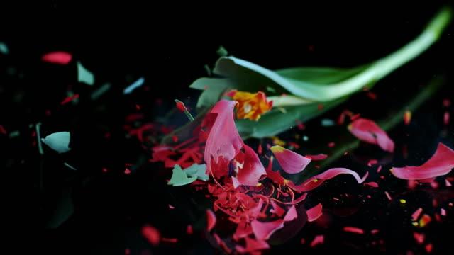 slo mo ld 赤いチューリップ shattering を個 - destruction点の映像素材/bロール