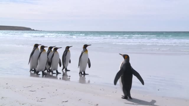 vídeos y material grabado en eventos de stock de of king penguins at volunteer point on the falkland islands - pingüino