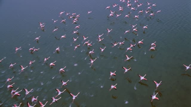 aerial of large flock of flamingos flying over water - flamingo stock-videos und b-roll-filmmaterial