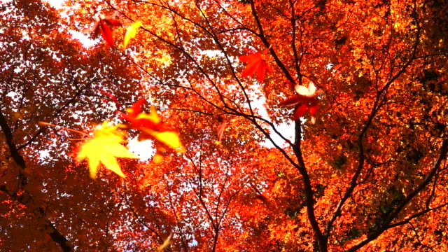 slow motion of maple leaf falling slowly to ground off autumn trees in woods at tokyo - maple leaf stock videos & royalty-free footage