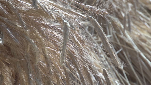 of ripened wheat spikelets at harvest time. - lebanon country stock videos & royalty-free footage