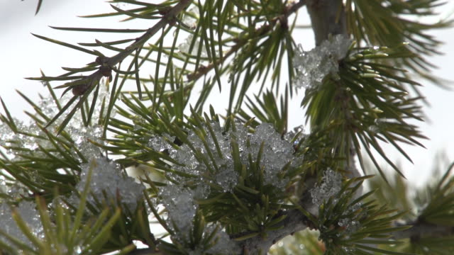 of snow melting on the evergreen branches of a cedar sapling in the northernn slopes of mount lebanon. - pinaceae stock videos & royalty-free footage